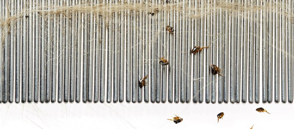 prevention: fleas caught on flea comb
