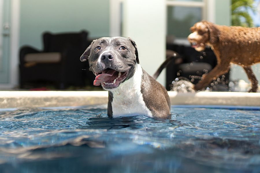 dog in pool on hot day