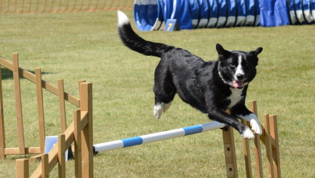 dog jumping hurdle